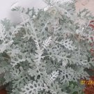 Premium 300 Seeds SILVERDUST DUSTY Cineraria Flower Seeds