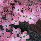 Premium 5 Seeds Flowering PINK Cornus TREE Seeds