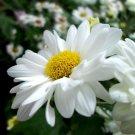 Premium 1000 Seeds DWARF SHASTA Chrysanthemum Flower Seed