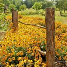 1/2 oz=40,000+BLACK EYED SUSAN Seeds American Native Wildflower Butterflies Bulk
