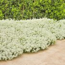 2000+TALL SWEET ALYSSUM Flower Seeds White Spring & Summer Groundcover/Container