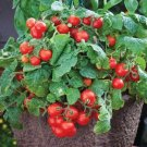 "30+TINY TIM DWARF PATIO TOMATO Seeds 16""Plant Hanging Baskets  Seeds USA Seller/Garden"