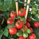 "25+PATIO BUSH TOMATO Seeds 5 oz Fruits 24""Plant Garden Hanging Baskets Container"