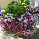USA Seller DWARF PETUNIA MIX Flower 8000 Seeds Garden/ Seeds USA Seller Hanging Baskets Window