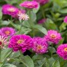 "USA Seller ZINNIA""PURPLE PRINCE""Flower 1001 Seeds Large 4-5"" Flowers Butterfly Garden"