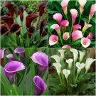 Eddy-Endah Store New Calla Lily Root Lilies Perennial Gardening Summer Flower 100+ Seeds
