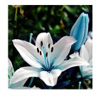 Eddy-Endah Store 50Pcs Blue Heart Lily Seeds Potted Plant Bonsai Lily Flower Seeds For Home Garden
