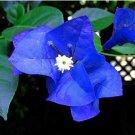Eddy-Endah Store 100pcs Mix-color 'Bougainvillea Spectabilis Willd Seeds Bonsai Flower Plant Seeds F