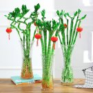 Eddy-Endah Store   50PCS Lucky Bamboo Seeds Home Garden Decoration Perennial Indoor Plant