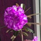 Eddy-Endah Store   Adenium Desert Rose Seeds White Purple Double Flowers 5-Layers 300 Seeds