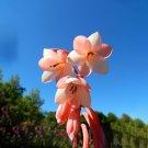 Eddy-Endah Store South Africa Rare Watsonia Seeds Pinkish Orange Rare Petals Flowers