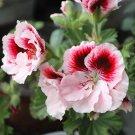 Eddy-Endah Store   Bi-Colored Red White Univalve Geranium Seeds, 20PCS/Pack, Garden Pelargonium Pelt