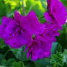 Eddy-Endah Store   Ivy Geranium 'Vagabond' Seeds, 10 Seeds / Pack, Pelargonium Peltatum Double Purpl