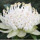 Eddy-Endah Store 50 Bonsai/Pack Fresh Rare Protea Cynaroides Bonsai Easy Planting Rare Bonsai Flower