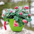 Eddy-Endah Store Acalypha Hispida Bonsai Chenille Plant Red-Hot Cattail Beautiful Home Garden Grass