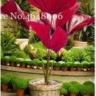 Eddy-Endah Store 100 Pcs/Bag Purple Travelers Palm Flores Bonsai, Ravenala Madagascariensis Chinese