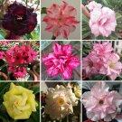 Eddy-Endah Store   Adenium Black Yellow Red White Bi-color Desert Rose Perennial Bonsai Flowers Seed
