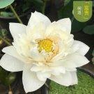 Eddy-Endah Store Heirloom Colorful Lotus Seeds 10PCS T2