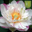 Eddy-Endah Store Heirloom Colorful Lotus Seeds 10PCS T5
