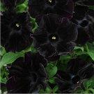 Eddy-Endah Store Petunia Black 'Velvet' Bonsai Annnual Flowers 200pcs Seeds Slightly Ruffled Flower
