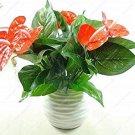 Eddy-Endah Store 50pcs Anthurium Plants Beautiful Rainbow Anthurium Garden Flowers high Survival Rat