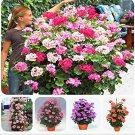 Eddy-Endah Store Rare Geranium Bonsai Climbing Geranium Collection Pelargonium Perennial Flower Bons