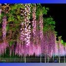 Eddy-Endah Store 100% Ture Heirloom Pink Wisteria Flower Seeds, Professional Pack, 100 Seeds / Pack,