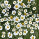 Eddy-Endah Store   Chamomile German Herbals Flowers Chrysanthemum, 20PCS/pack