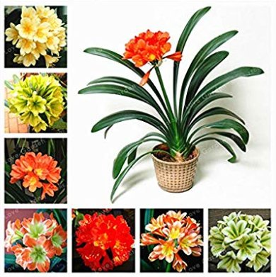 Eddy-Endah Store 50 Seeds Hot Sale Clivia Miniata Bonsai Gorgeous Bonsai Rare Bush Lily Flower Bonsa