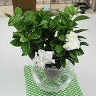 Eddy-Endah Store 100 Pcs/Bag Rare Flower Gardenia Fragrant Indoor Office Desk Bonsai Evergreen Tree