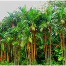 Eddy-Endah Store Lipstrick Palm Cyrtostachys seeds DL394C 500 Seeds