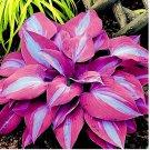 Eddy-Endah Store 150pcs/bag beautiful Hosta Plants Seeds T4