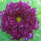 Eddy-Endah Store Purple (Mixed) Cosmos Bipinnatus Coreopsis Seeds Purple Double Flowers also Mix oth