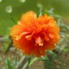 Eddy-Endah Store   Portulaca oleracea Purslane Double Flowers Seeds, 500 Seeds/pack, Professional Pa