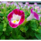 Eddy-Endah Store   Mixed 4 Colors Torenia Fournieri Seeds, 200 Seeds / Pack, Red Pink Black Blue Wis