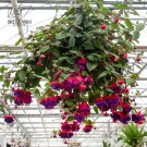 Eddy-Endah Store   100PCS Hanging Bonsai Fuchsia Perennial Flowers Seeds Heirloom Red Pink White Blu