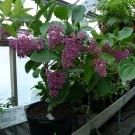 Eddy-Endah Store Medinilla Magnifica Seeds 30PCS Showy Medinilla Perennial Shrub Rose Grape Flowerin