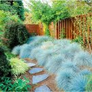Eddy-Endah Store 200 pcs Blue Fescue Grass bonsais - (Festuca glauca) Perennial Hardy Ornamental Gra