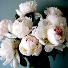 Eddy-Endah Store   Peony Seeds Sorbet Robust Cream White Yellow Double Flowers 500 Seeds