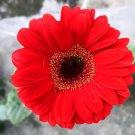 Eddy-Endah Store   Gerbera Red African Transvaal Daisy Seeds 500 Seeds