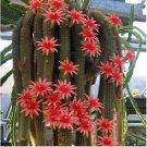 Eddy-Endah Store Hildewintera Aureispina Cactus Seeds DL424C 10 Seeds