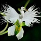 Eddy-Endah Store Orchid Seeds, Orchid Seed, 200pcs Japanese Egret Flowers Seeds White Egret Orchid S