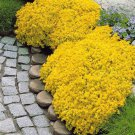 Eddy-Endah Store 100pcs/bag Creeping Thyme Seeds Yellow Rock Cress Seeds Perennial Ground cover flow