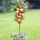 Eddy-Endah Store 5 packs, 10 seeds / pack * Red Apple Tree BONSAI serious * VERY FRAGRANT, SWEET, CR