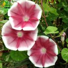 Eddy-Endah Store Imported Japan Wine Red Garden Morning Glory Seeds, 10 Seeds, very beautiful annual