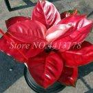 Eddy-Endah Store Beautiful Aglaonema 'Pink Dud' Mosaic Plants Flower Rare Living Rooms Bonsai Outdoo