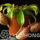 Eddy-Endah Store 50 Pcs Tropical Pitcher Plant Giant Nepenthes Bonsai Herb Ca ivorous Plants, Garden