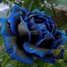 Eddy-Endah Store   New Midnight Supreme Dark Blue Rose Bush Flower Seeds, 1 Professional Pack, 50 se