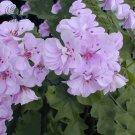 Eddy-Endah Store   Geranium Light Pinkish White Double Petals with Purple Spots Close to Centre Flow