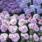 Eddy-Endah Store   Geranium Mixed White Red Spot Double Petals Purple Black Stripes Flowers 10 Seeds